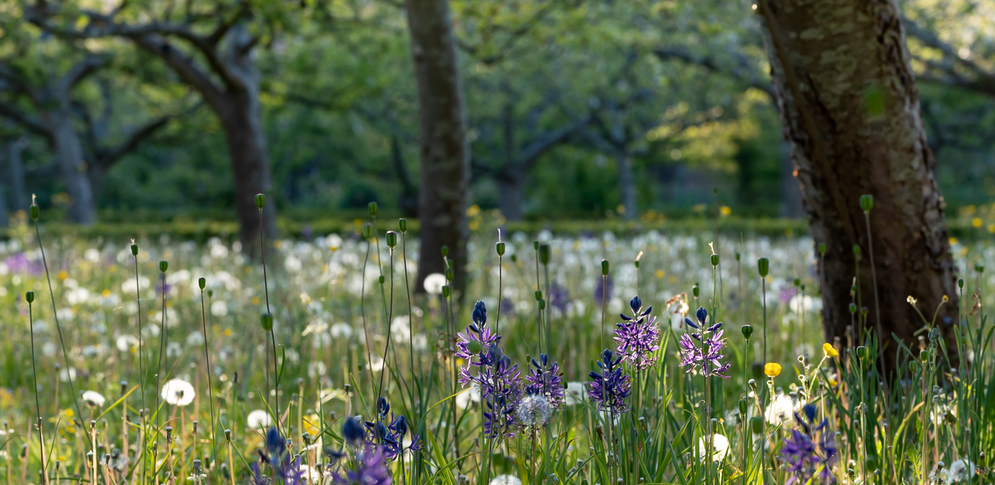 Camassia flowers and dandelions