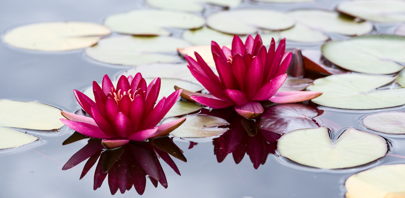 Two pink water lily flowers