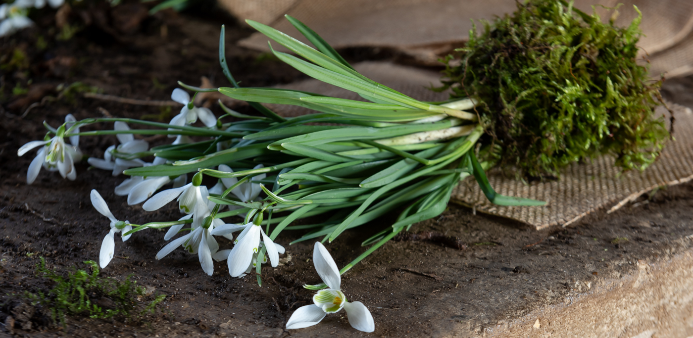 Snowdrop plants placed on a potting shed bench before being split in clumps and replanted.